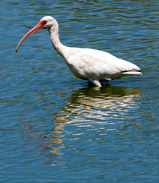 The White Ibis is a particularly dramatic bird.