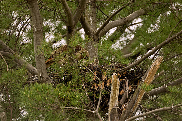 RED-TAILED HAWK FAMILY