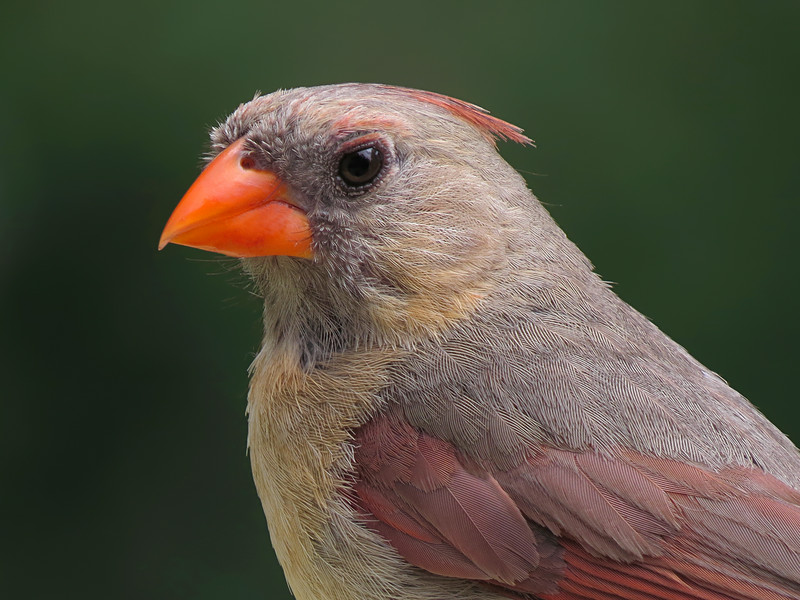 SX50_cardinal_portrait_284.jpg