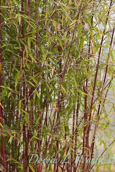 Fargesia 'Red Panda' 'Jui' red stemmed bamboo_7816.jpg