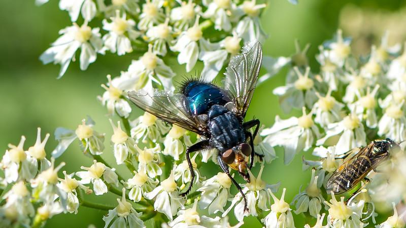 Shiny Blue Bottle Fly