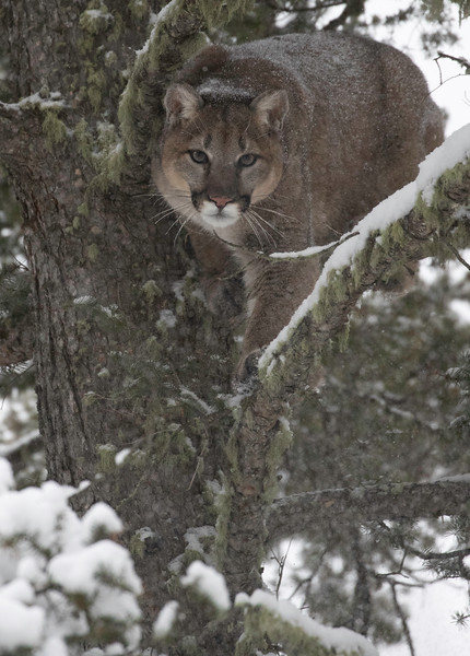 Mtn Lion looking straight while decending updated.jpg