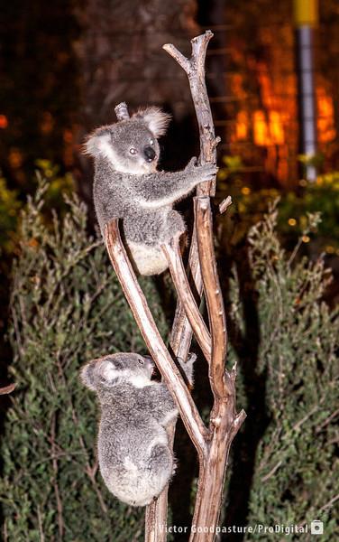 Koalafornia-47.jpg