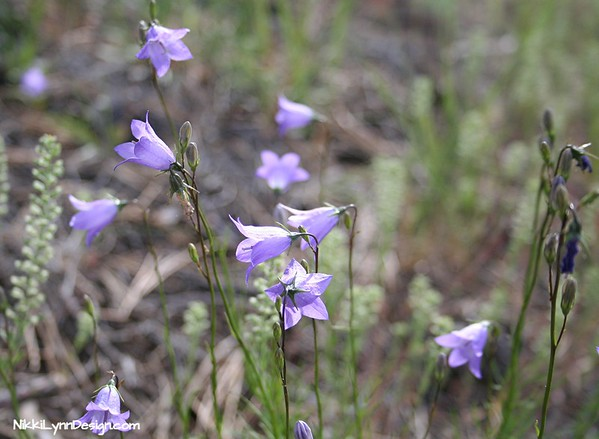 Bellflower - Best planted in zones 4 and up. Full sun to partial shade with well drained soil.