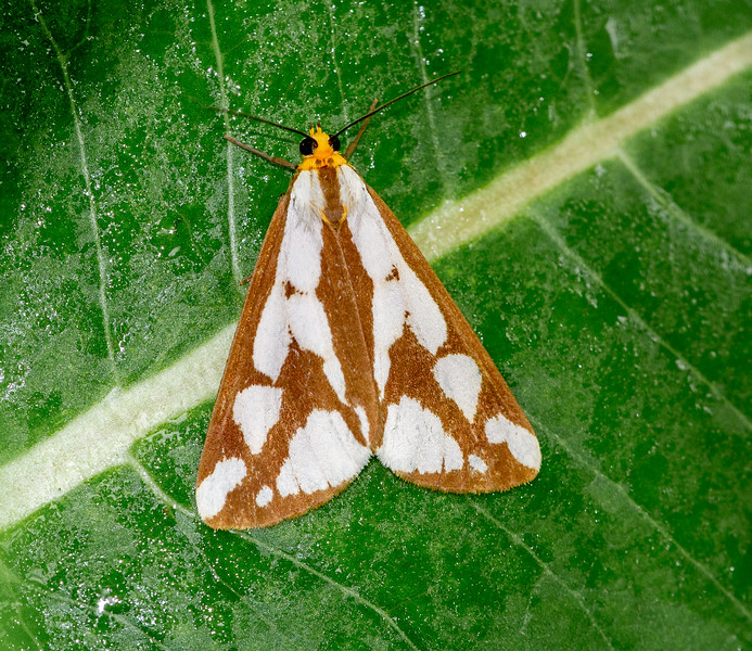 Haploa confusa Confused Haploa moth 93-0346 8112 Family Erebidae Lake Nichols Road Bog BioBlitz VII July 20 2019 Sax-Zim Bog MN  IMG_7995.jpg