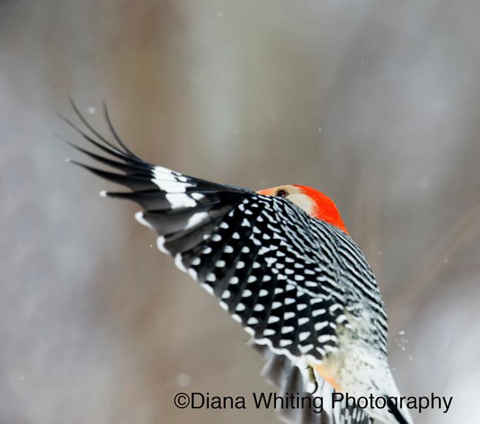 Red-bellied Woodpecker Flight
