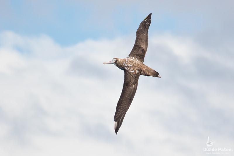 NZ Wandering Albatross