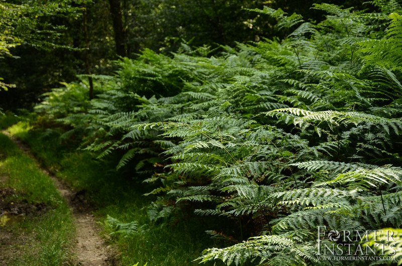 Fern Hedgerow
