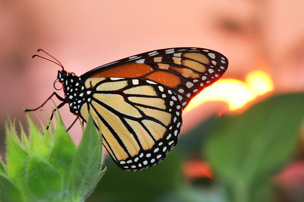Monarch in sunset
