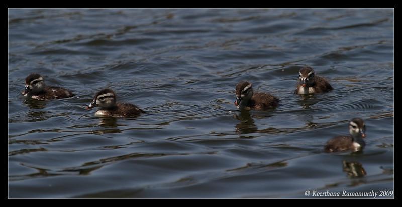 Wood Duck chicks, Santee Lakes, San Diego County, California, May 2009