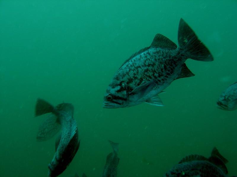 Blue rockfish schooling at 15ft below.