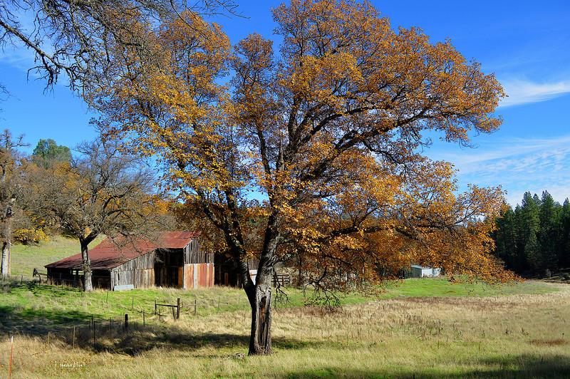 scared oak 11-27-2012.jpg