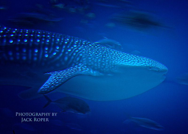 Whale Shark. Atlanta Aquarium