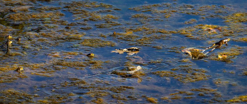 1033 - Wildlife - Frogs in River One Jumping (p).jpg