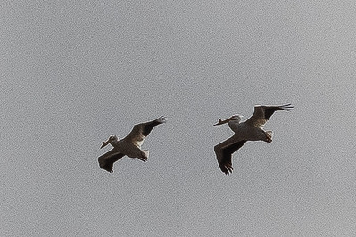 2021 05 09: Chambers Point and Pelicans