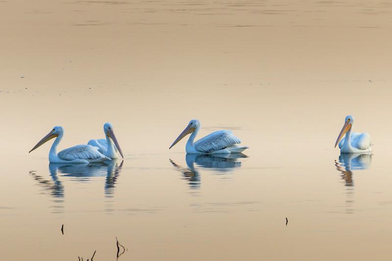 9.18.18 - Blackburn Creek Fish Hatchery: American White Pelicans