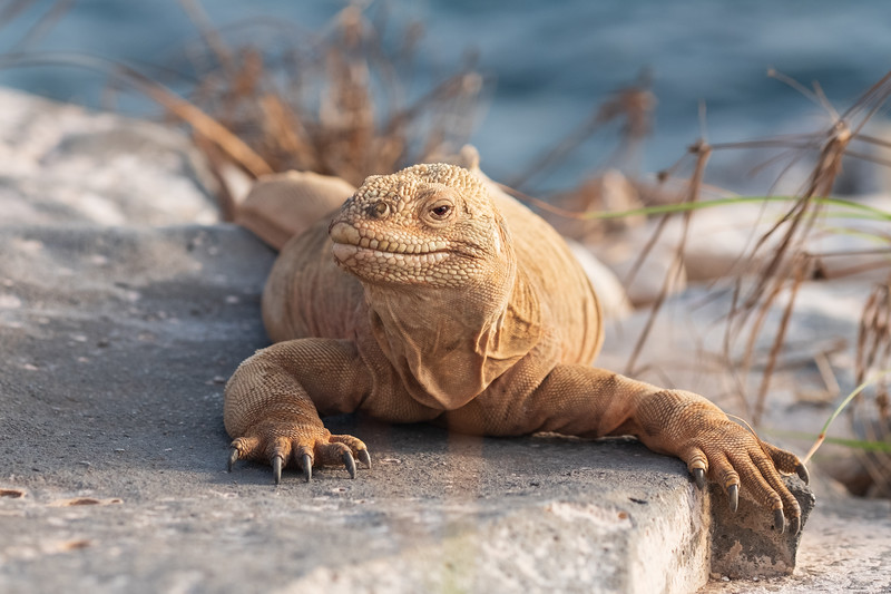 Barrington land iguana on Barrington Bay, Santa Fe Island in early morning light