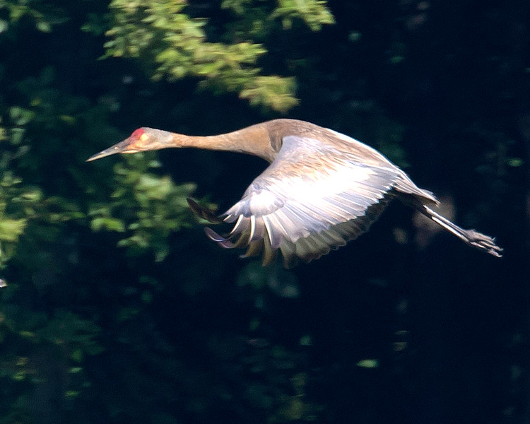 sh crane flight1.jpg