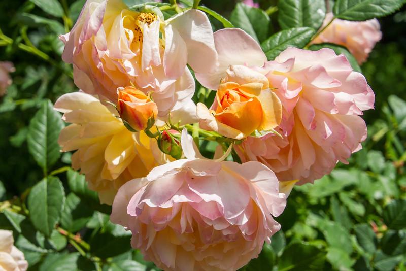 Filoli_Roses-02.jpg