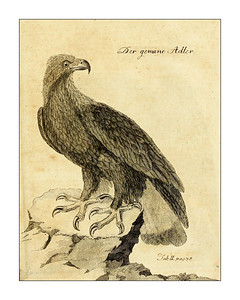 Bird prints from Büffons Naturgeschichte der Vögel 1775