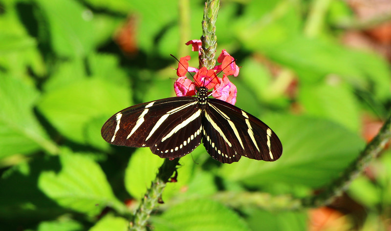 11_1_19 Zebra Longwing Butterfly.jpg