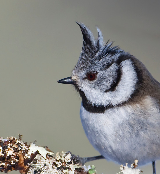Crested Tit portrait.jpg