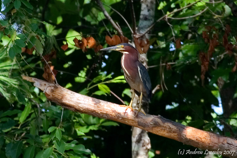 Green Heron 3.jpg