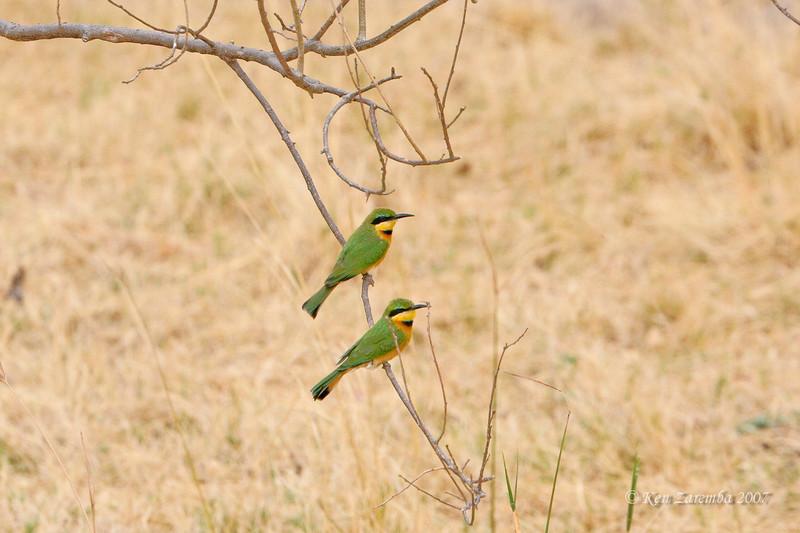 Little Bee-eater,Moremi Game Reserve, Okavango Delta, Botswana