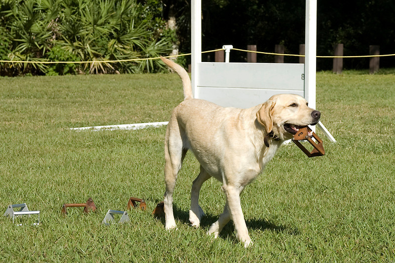 This Labrador Retriever competes in Utility, bringing back the article with her handler's scent.
