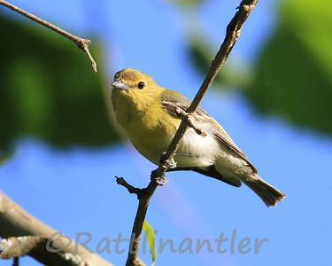 Yellow-Throated Vireos