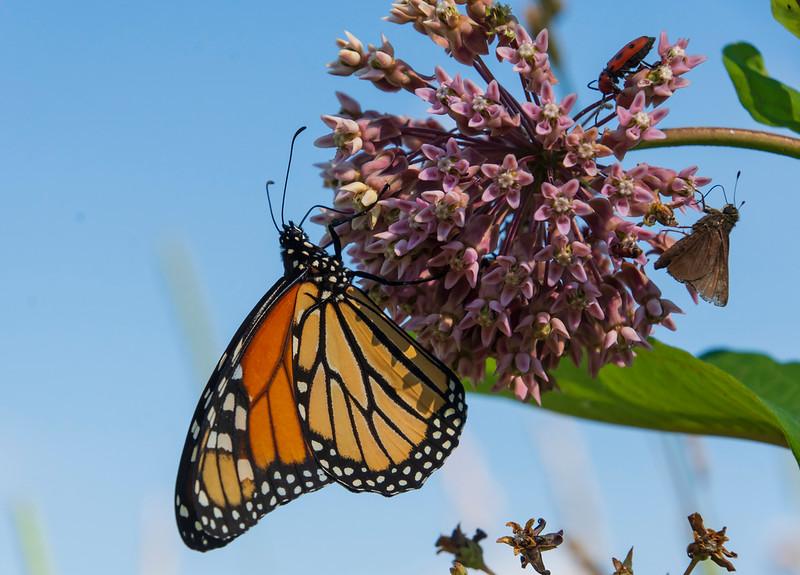 Monarch-butterfly-milkweedbeetle-moth-SFbog.jpg