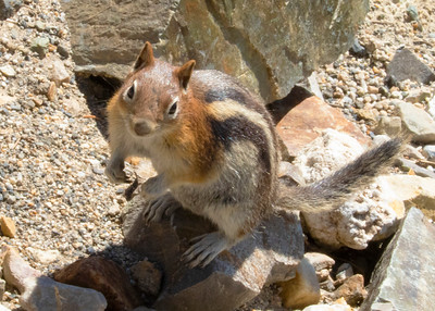 Golden-manteled Grown Squirrel