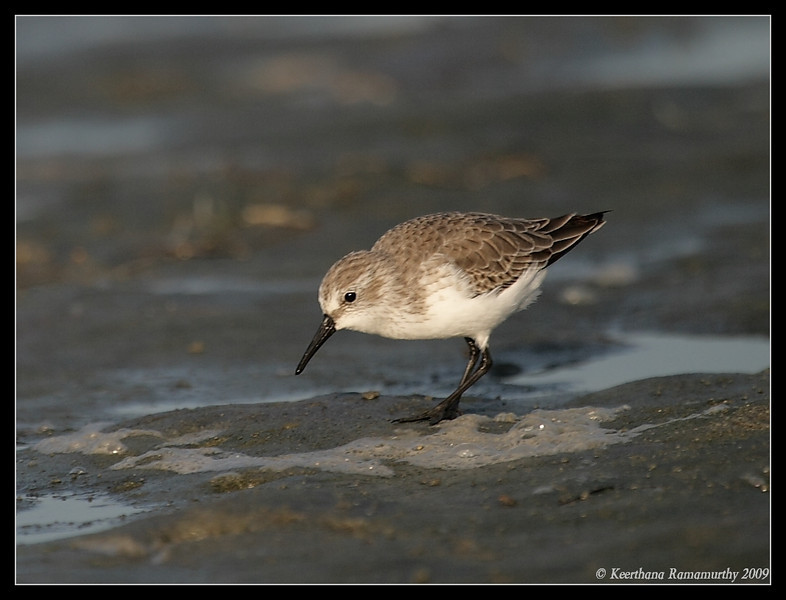 Western Sandpiper, Robb Field, San Diego River, San Diego County, California, September 2009