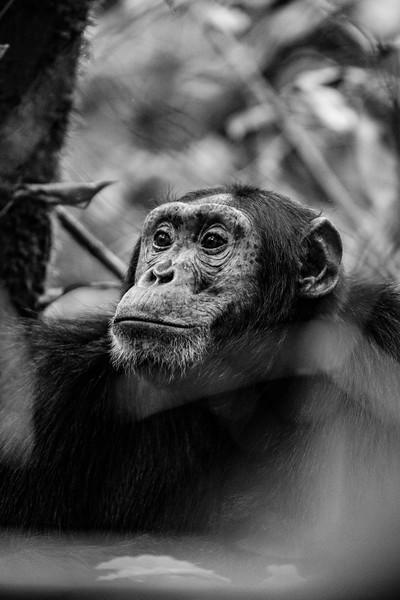 Uganda_T_Chimps-683.jpg