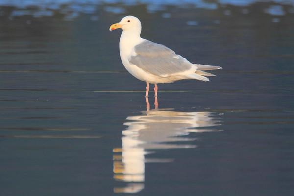 Gulls 2012