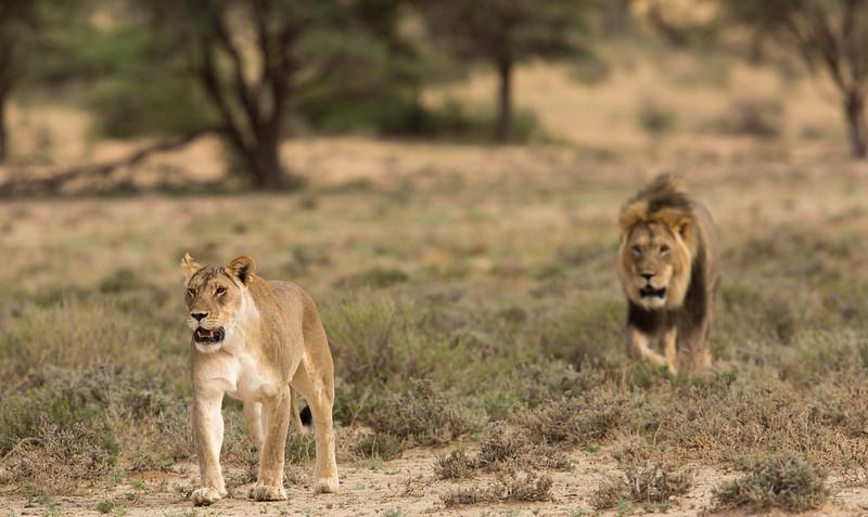 Lion pair approaching Kij-kij waterhole, Kalahari Desert