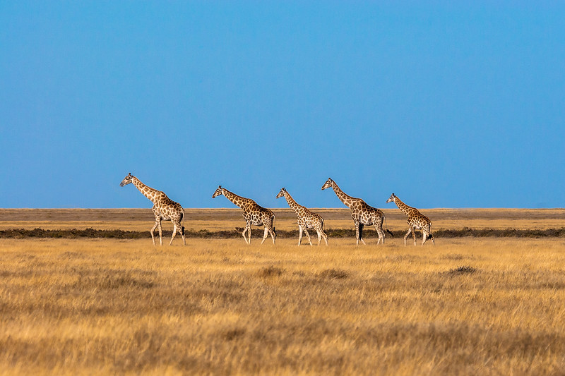 A herd of giraffes searching for trees