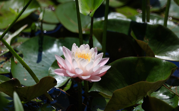 Water Lilies - 2016