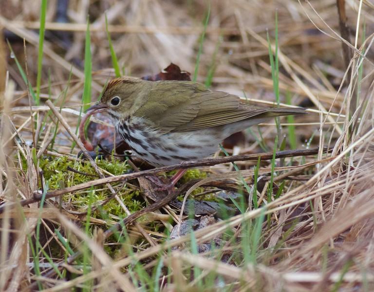 Ovenbird with earthworm Park Point Duluth MN IMG_2321.jpg