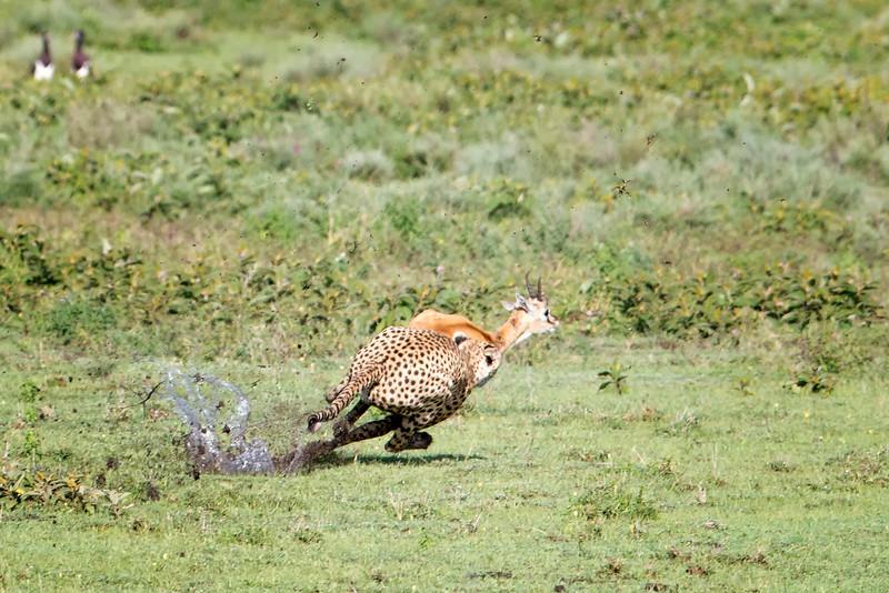 Cheeta acceleration