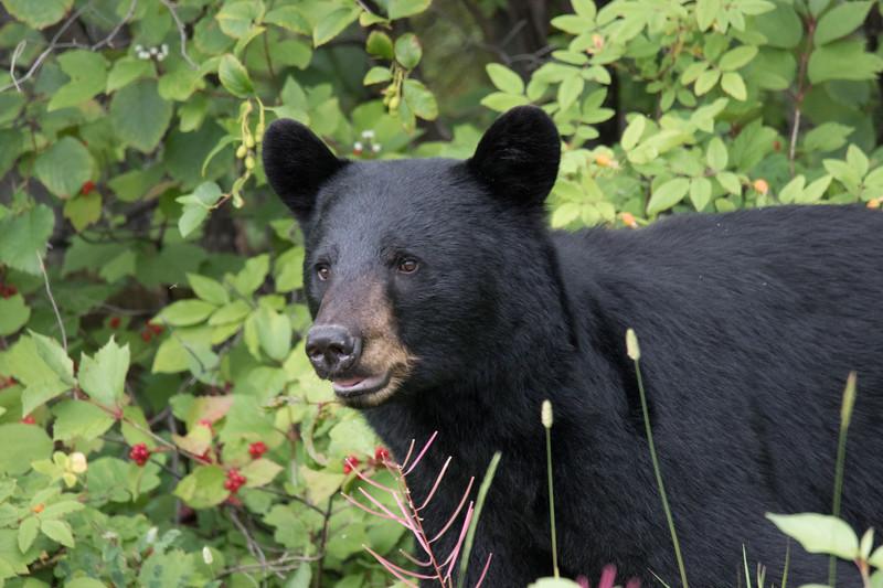 Black Bear Alcan Highway -8.jpg