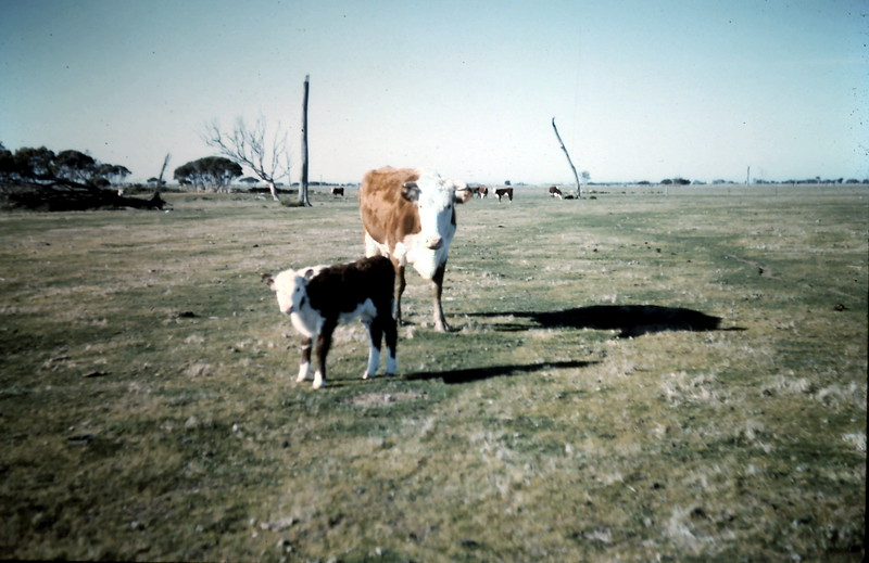 1962-7 (27) Cow & calf.JPG