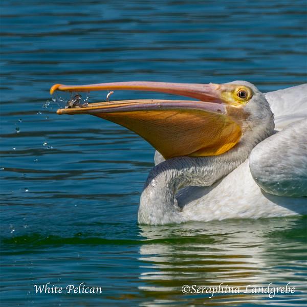 5e._DSC8237White Pelican eatting.jpg