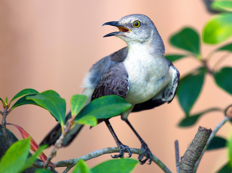 Handsome Mockingbird in the late afternoon light
