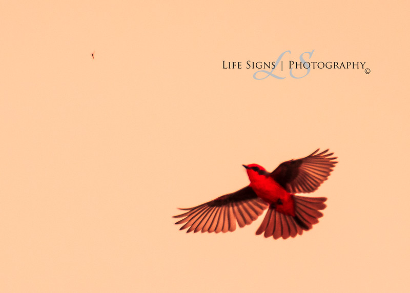 LS - Birds - Evening Flycatcher.JPG