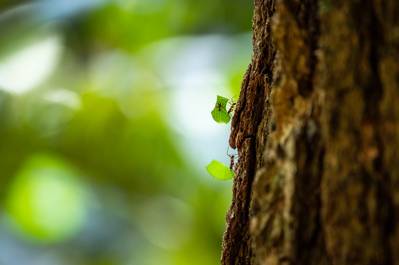 Leaf Cutter ants Tree Trunk.jpg