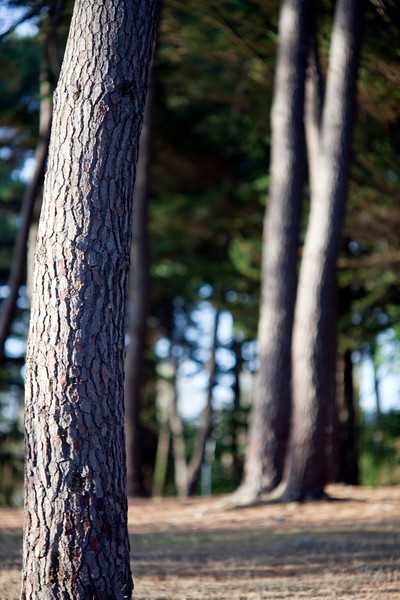Pine tree trunks, Conleau island, town of Vannes, departament of Morbihan, region of Brittany, France