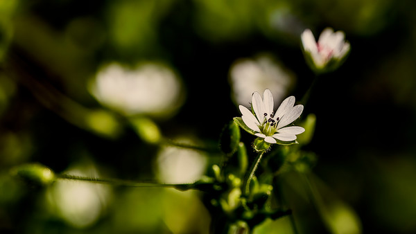 Chickweed common