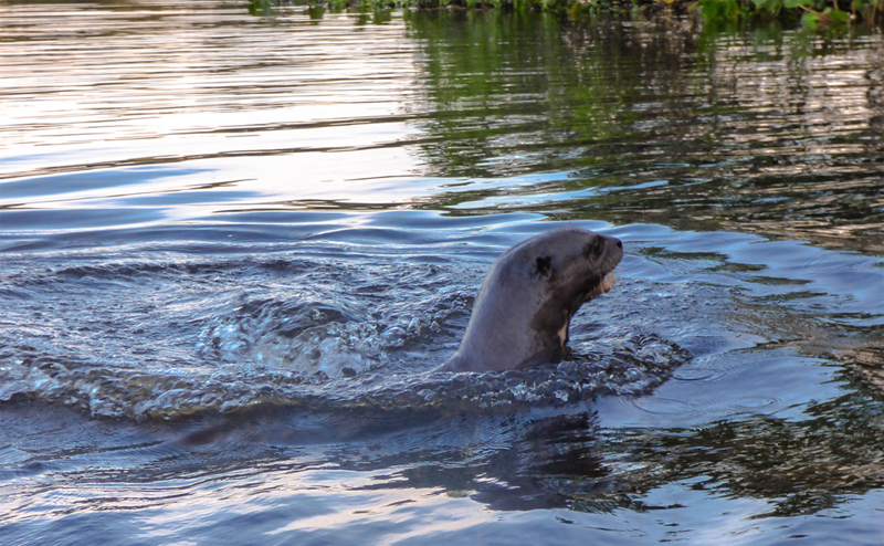Paddling through the Pantanal in Brazil otter.png