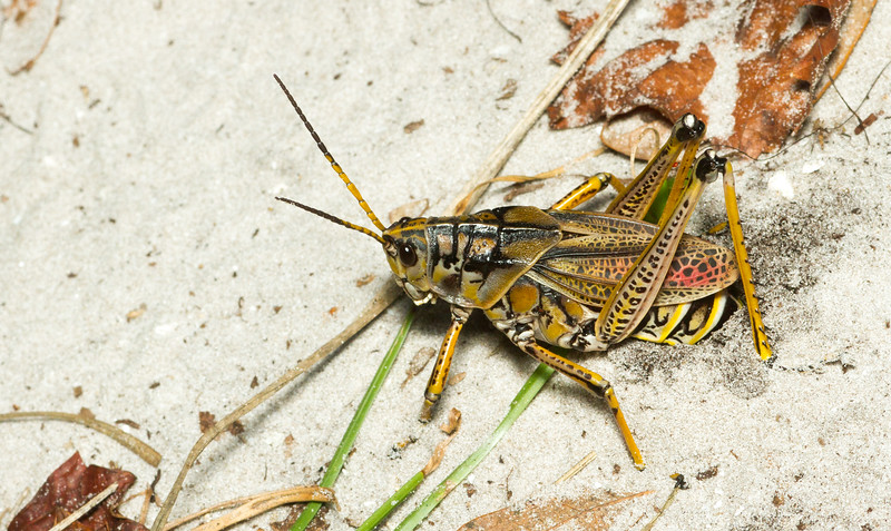 A female Eastern Lubber Grasshopper, Romalea microptera, lays her eggs in sandy soil in the Tumucuan Preserve in Jacksonville, Florida (USA). These grasshoppers are so enormous that one can hear them crashing through the underbrush from several meters away.